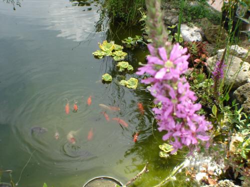 Poissons de bassin de jardin de virginie de meaux for Plante bassin poisson