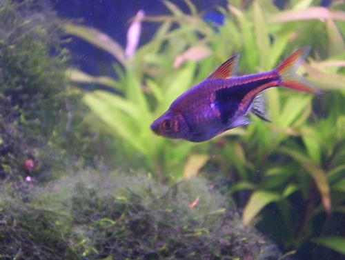 Les photos de poissons d 39 aquarium for Poisson tetra rouge