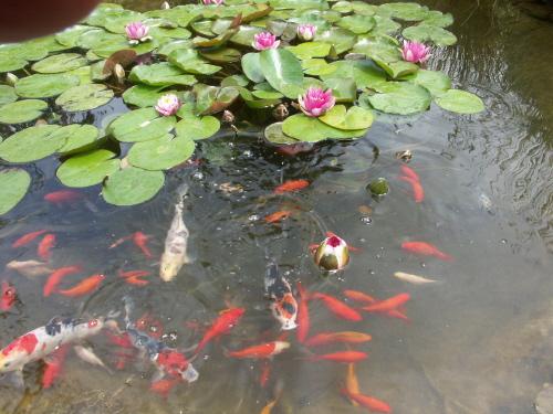 Le bassin de jardin de jean yves page 2 for Poisson bassin exterieur achat