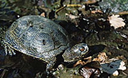 Les tortues Cistudes
