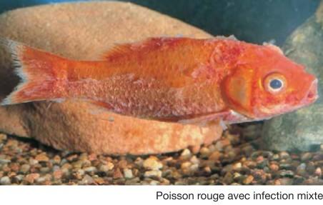 bassin poisson rouge maladie