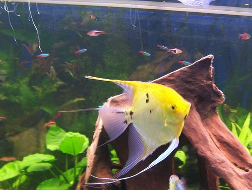 Introduire des poissons dans un aquarium for Aquarium plat