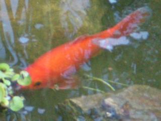 Bassin de brigitte for Entretien bassin poisson rouge